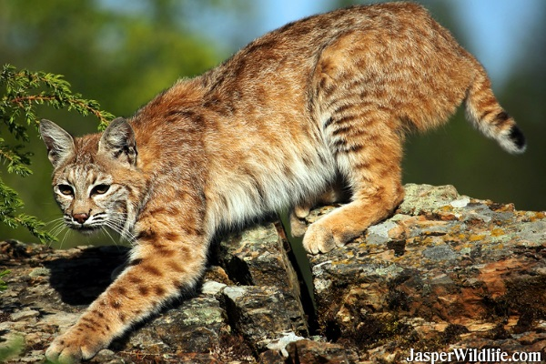 Bobcat - Jasper Wildlife Tours