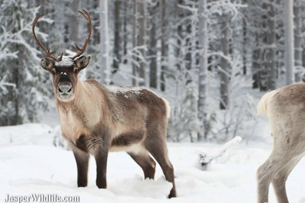 Caribou - Jasper Wildlife Tours