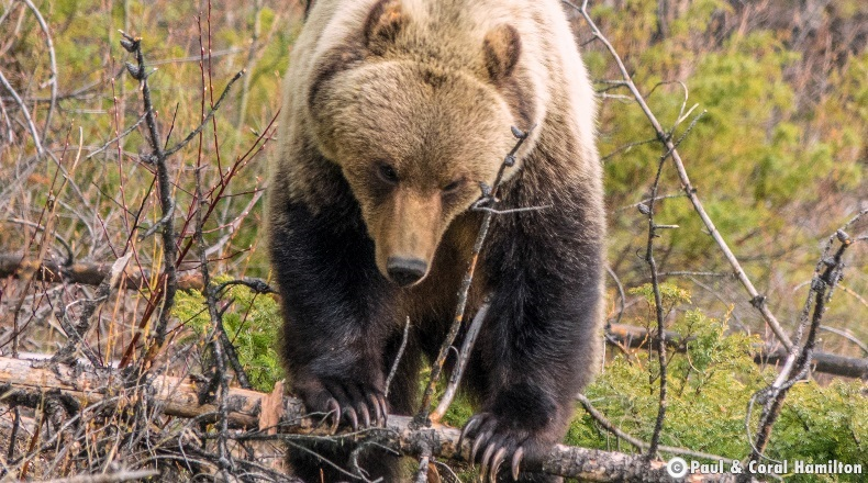 Grizzly Bear over a Log in June 2018