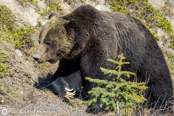Jasper Large Male Grizzly April 2018 - Wildlife