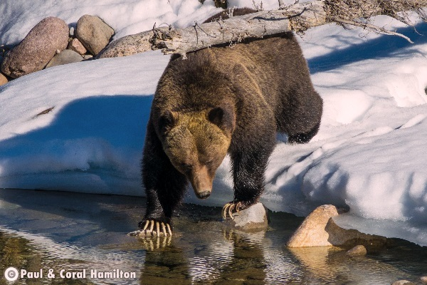 Jasper Large Male Grizzly 2018 in Creek and Snow - Wildlife