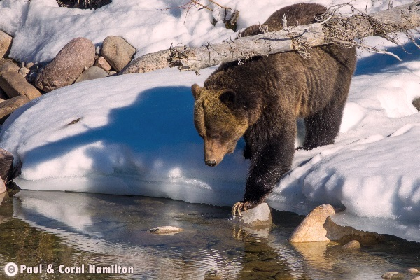 Jasper Large Male Grizzly 2018 in Creek with Snow - Wildlife
