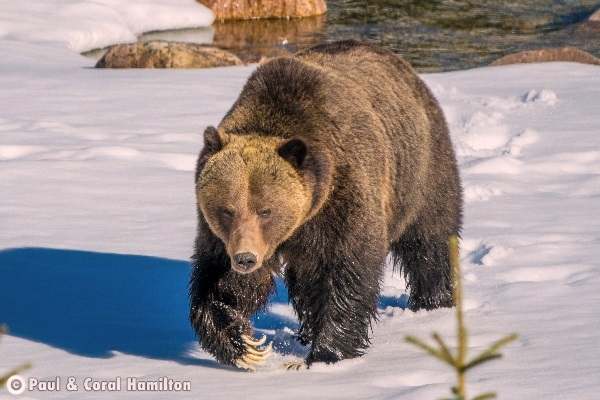 Jasper Large Male Grizzly in 2018 Snow - Wildlife
