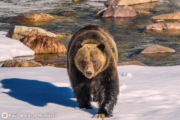 Jasper Large Male Grizzly April 2018 in Snow - Wildlife