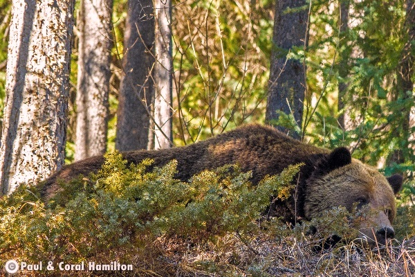 Jasper Large Male Grizzly Just out of Hibernation 2018 Sleeping - Wildlife