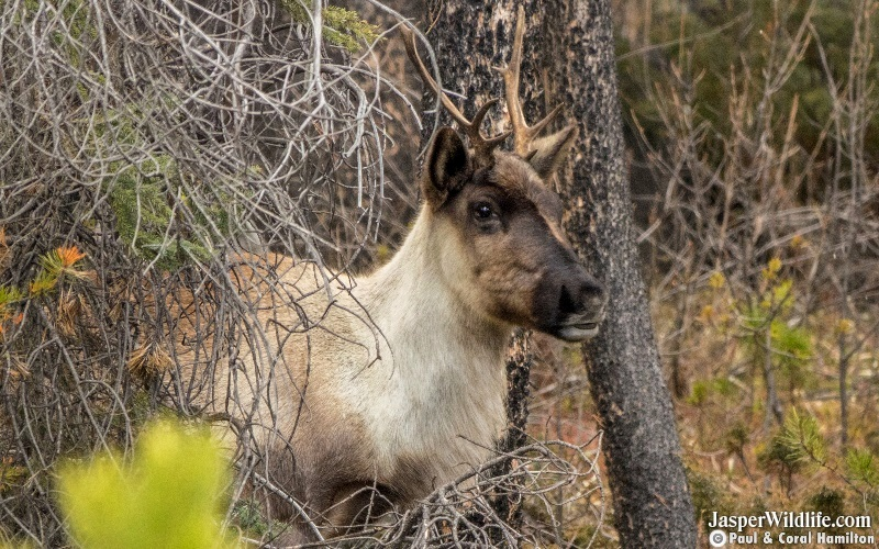 Caribou in Jasper National Park Wildlife Tours 2019