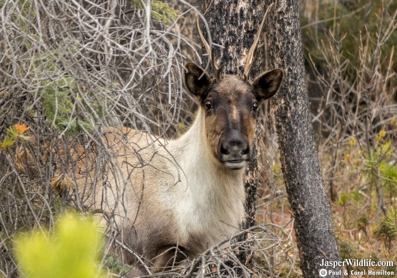 Caribou in Jasper National Park Wildlife Tours 2019 1
