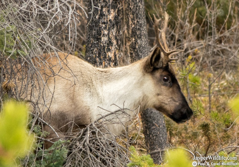 Caribou in Jasper National Park Wildlife Tours 2019 2