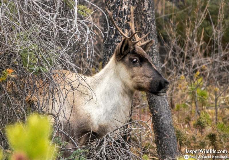 Caribou in Jasper National Park Wildlife Tours 2019 3