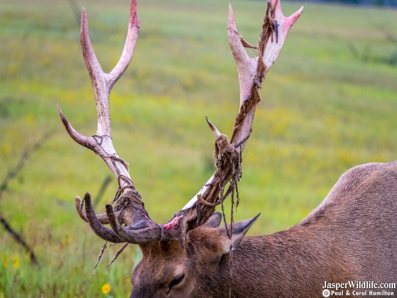 2019 March Elk Bull King the Day of Dropping His Antlers - Wildlife Tours