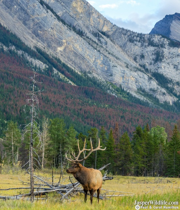 Elk - Wapiti in Jasper, Alberta Wildlife Tours