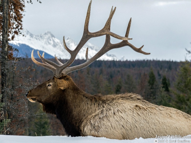 Mature Elk Bull resting in March 2020 - Jasper Wildlife Tours