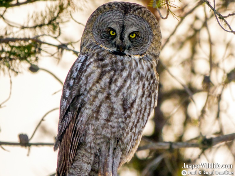 Great Grey Owl on Jasper, Alberta Wildlife Tours