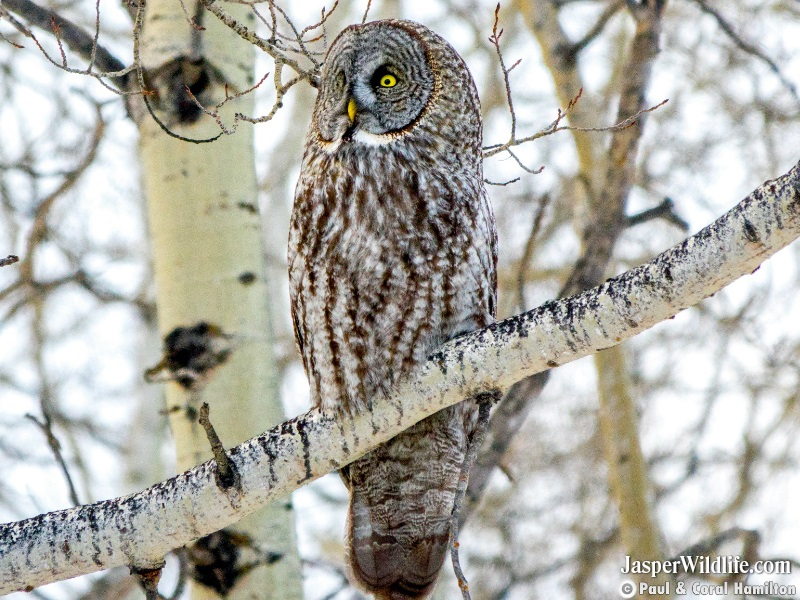 Great Grey Owl in Jasper, Alberta wildlife tours