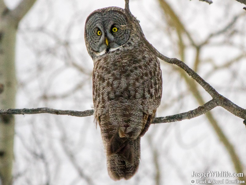 Great Grey Owl's back