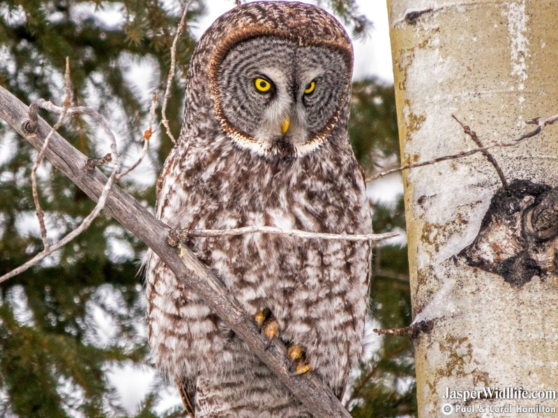 Great Grey Owl on Jasper, Alberta Wildlife Tours Feb.