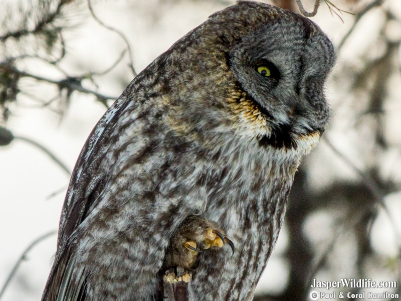 Great Grey Owl feet and talons