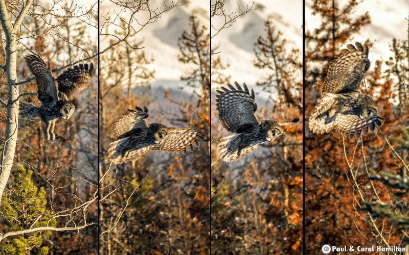 Great Grey Owl Flying in Jasper National Park