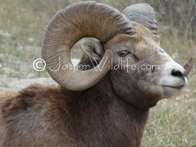 a powerful bighorn sheep in
