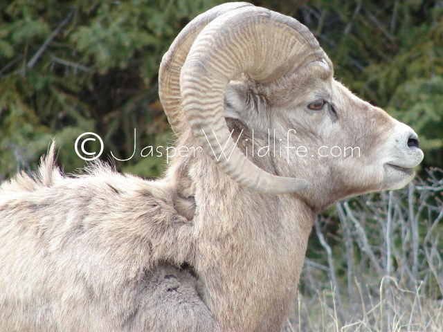 94 Jasper Wildlife - Bighorn Sheep Losing Winter Hair