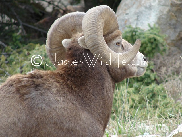 96 Jasper Wildlife - Very Large Bighorn Sheep