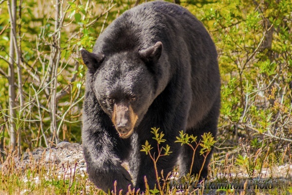 Black Bear in Jasper, Alberta