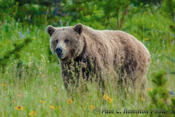 Jasper grizzly bear brown - Wildlife