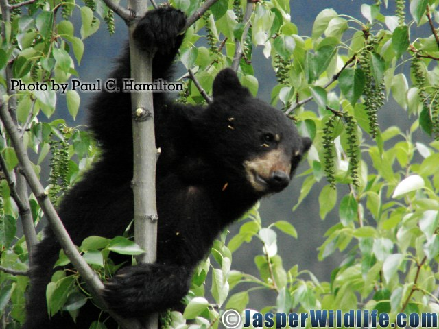 Jasper Wildlife - Bear Cub 1YR Monkey in Poplar 1013