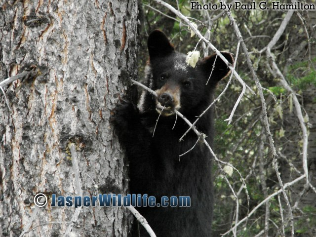 Jasper Wildlife Bear Cub showing who is Boss 1274
