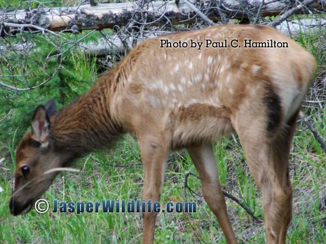 Jasper Wildlife Elk of Year Spotted jul07
