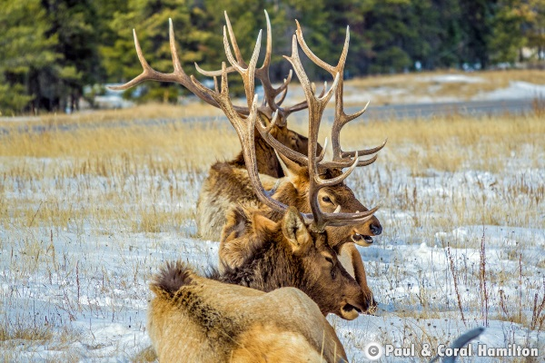 3 Jasper Elk Bulls in 2018 - Wildlife