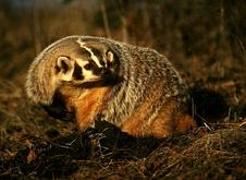 Jasper badger - Wildlife