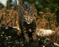 Jasper bobcat - Wildlife