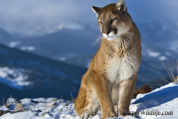 Cougar - Mountain Lion or Puma - Jasper Wildlife Tours