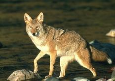 Jasper coyote - Wildlife
