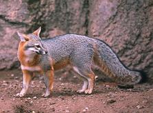 Jasper gray fox - Wildlife