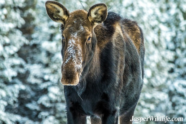 Jasper Wildlife Moose Female - 2018