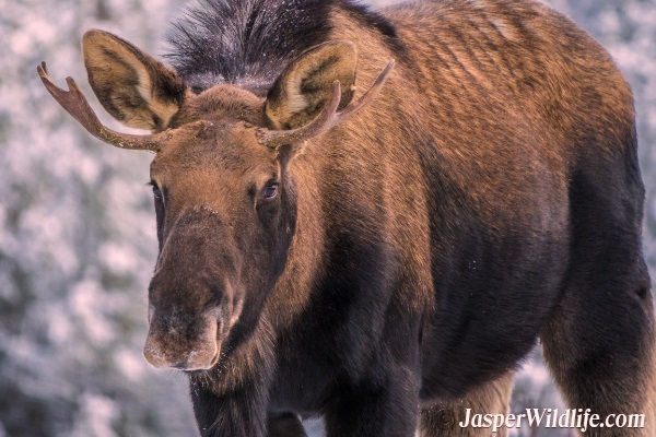 Jasper Wildlife Moose Male - 2018