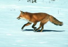 Jasper red fox Wildlife