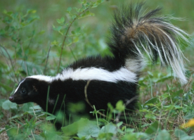 Jasper skunk - Wildlife