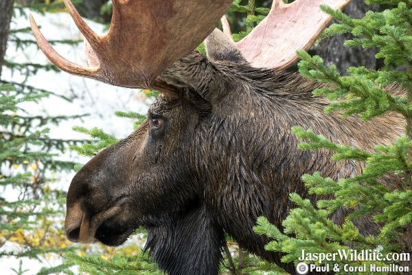 Bull Moose Sept 2018 Beginning of Rutting Season Jasper Wildlife Tours 6
