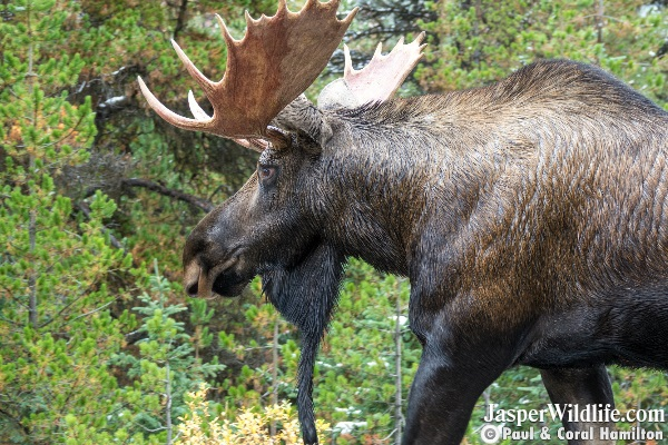 Bull Moose Sept 2018 Beginning of Rutting Season Jasper Wildlife Tours 7