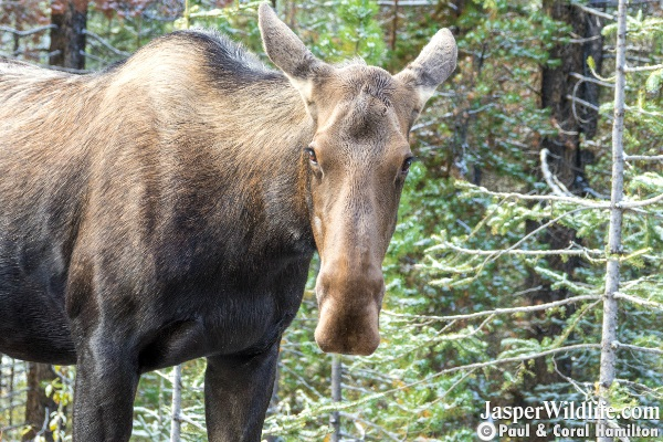 Moose Cow Sept 2018 Beginning of Rutting Season Jasper Wildlife Tours 4